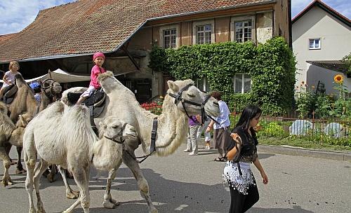 _MG_7927__Kamele_in_Oberlauchringen_Kopie