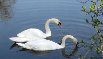 Brütende Wasservögel an der Wutach
